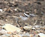 Killdeer - Charadrius vociferus (chick)