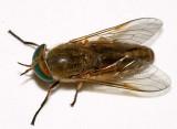 Tabanus nigrovittatus (Greenhead)