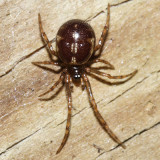 Steatoda triangulosa?