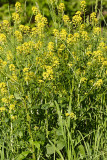 Yellow Rocket - Barbarea vulgaris