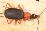 Galeritini - False Bombardier Beetle - Galerita bicolor