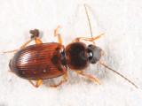 Stenolophus fuscatus