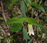 Sessile-leaved Bellwort (Wild Oats) - Uvularia sessilifolia