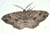 6621 -- Signate Melanolophia Moth -- Melanolophia signataria