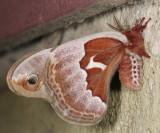 7764 - Promethea Moth - Callosamia promethea