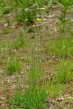 Field Hawkweed - Hieracium pratense