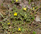 Great Wood Sorrel - Oxalis grandis