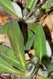 Mouse Ear - Hieracium pilosella