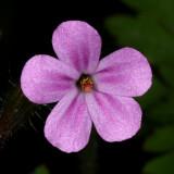 Robert Geranium - Geranium robertianum