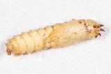 Laphria index complex (pupa)