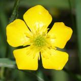 Bulbous Buttercup - Ranunculus bulbosus