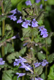 Ground Ivy - Glechoma hederacea