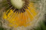 The Secret Life of A Dandelion 3