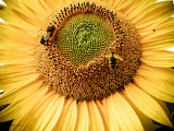 Making Honey From Sunshine!