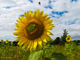 My Last Sunflower Pic (I promise!)