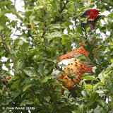 And A Pheasant in a Plum Tree