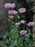 Pink Poppy Picture