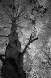 Birch Canopy 566.jpg