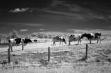 May Twp Cows 0669.jpg