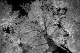 Birch Canopy 0568.jpg