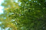Maple Tree 4361.jpg