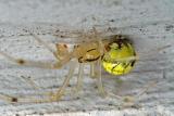 Yellow spider 5717.jpg
