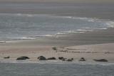 Grey Seal - Halichoerus grypus - Grijze Zeehonden