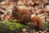 Red Squirrel - Sciurus vulgaris - Eekhoorn, Maastricht
