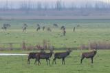 Red Deer - Cervus elaphus - Edelherten