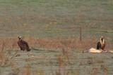 Cinereous Vultures - Aegypius monachus