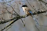 Azure-winged Magpie - Cyanopica cyana