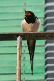 Barn Swallow - Hirundo rusticola