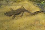 Spanish Sharp-ribbed Newt - Pleurodeles waltl