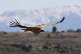 Griffion Vulture - Gyps fulvus