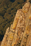 Griffion Vultures - Gyps fulvus