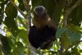 Brown Capuchin Monkey - Cebus apella