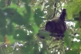 Common Woolly Monkey - Lagothrix lagotricha