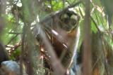 Night Monkey - Aotus trivirgatus