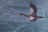 Red-legged Cormorant - Phalacrocorax gaimardi