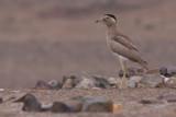 Peruvian Thick-Knee - Burhinus superciliaris