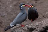 Inca Tern - Larosterna inca
