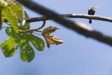 White-throated Jacamar - Brachygalba albogularis