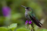 Many-spotted Hummingbird - Taphrospilus hyposticus