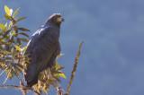 Solitary Eagle - Harpyhaliaetus solitarius