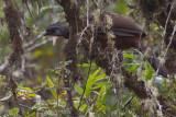 Andean Guan - Penelope montagnii