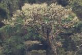 Black-and-chestnut Eagle - Spizaetus tyrannus