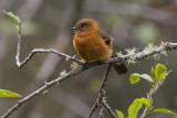 Cinnamon Flycatcher - Pyrrhomyias cinnamomeus