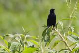 Pale-eyed Blackbird - Agelasticus xanthophthalmus