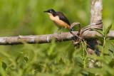 Black-capped Donacobius - Donacobius atricapilla