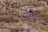 Diademed Sandpiper-Plover - Phegornis mitchellii